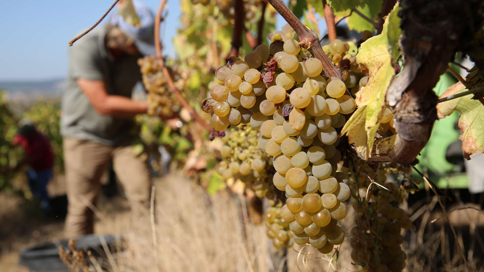 wines-harvesting